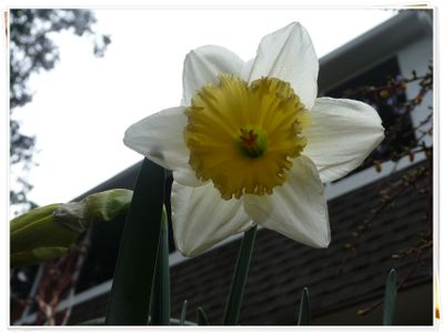 White Daffy