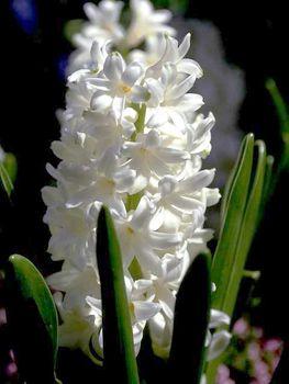 Pics-hyacinth
